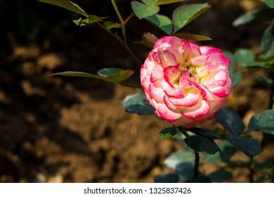Rose flower in the sunrise