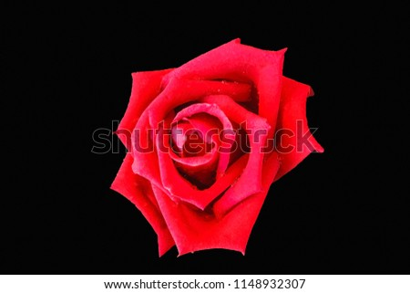 Rose Flower That Very Beautiful Considered Stock Photo Edit Now