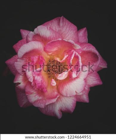 Rose Flower Wallpaper Black Background Stock Photo Edit Now