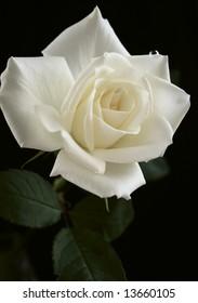 rose flower white ivory dew beautiful nature