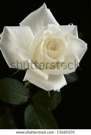 Rose Flower White Ivory Dew Beautiful Stock Photo Edit Now