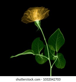 Rose flower X-ray.