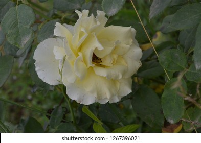 Rose, a flowering plant with sweet scent bearing a worm white flower which is a sign of love blossoming under the day light outdoor, in a gardenproviding lively and fresh atmosphere into the area
