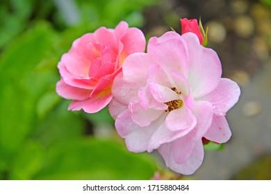 Rose flowers are multicolored (Rosa multiflora). Close up