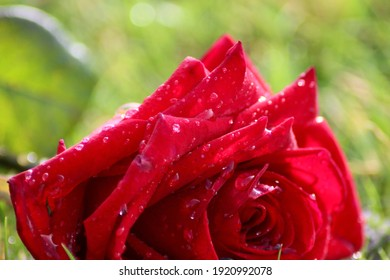 Rose found on grass in morning dew.
