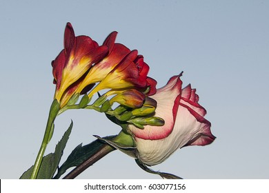 rose with freesia