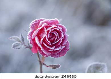 The Rose With Frost