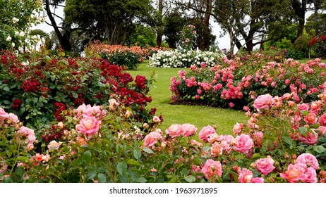 Rose garden.  Beautiful display of roses in a large garden setting.