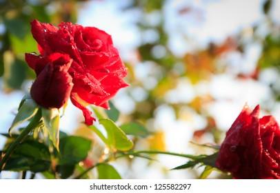 rose garden in big mountain,Thailand
