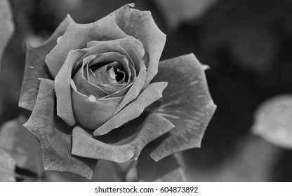 Rose in the garden in black and white