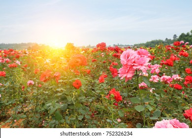 rose garden and blue sky