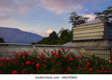 Rose garden during the evening at Queen Sirikit Botanic Garden.