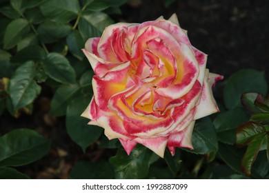 Rose garden Guldemondplantsoen as national monument in Boskoop in the Netherlands with rose variety Pullman Orient Express
