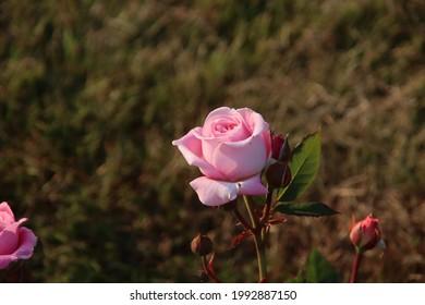 Rose garden Guldemondplantsoen as national monument in Boskoop in the Netherlands with rose variety Rösengrafin Marie Henriette