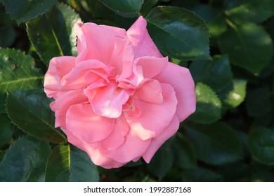 Rose garden Guldemondplantsoen as national monument in Boskoop in the Netherlands with rose variety Trier2020