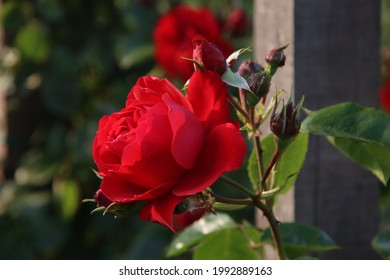 Rose garden Guldemondplantsoen as national monument in Boskoop in the Netherlands with rose variety Florentina