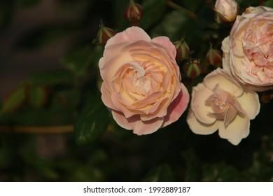 Rose garden Guldemondplantsoen as national monument in Boskoop in the Netherlands with rose variety New Dreams