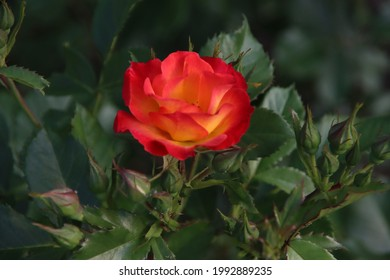 Rose garden Guldemondplantsoen as national monument in Boskoop in the Netherlands with rose variety Summer of Love