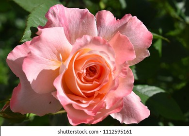 """rose in a garden on sunny day. A close up view of a peach rose flower. The name of the rose is """"Augusta Luise"""" (Tangust, Rachel, Fox Trot, Hayley Westenra). The New York Botanical Garden."""