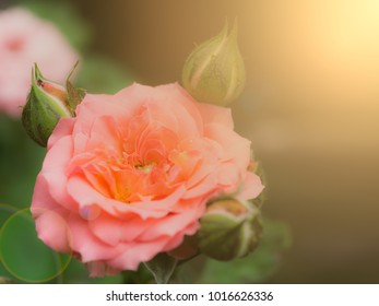 Rose in the garden on valentines day, Wedding concept with copy space