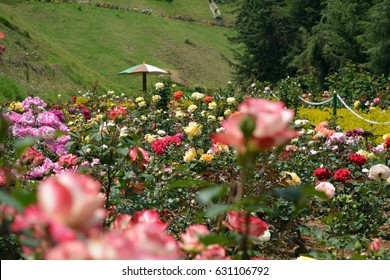 Rose Garden in Ooty south India
