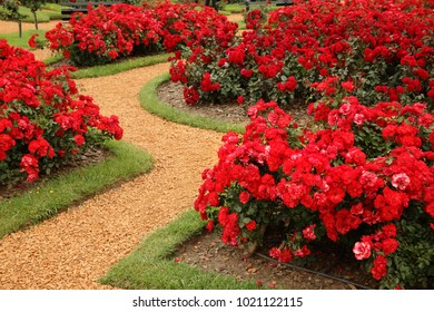 Rose garden with orange path and red roses