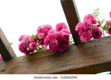 Rose Garden, Wedding Background