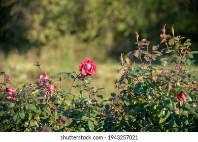 Rose Garden - Wild Pink Roses on Soft Green Background