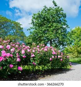 Rose Garden,Rosa Skylark