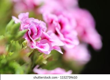 Rose geranium, Pelargonium graveolens flower