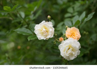 """rose """"Ghislaine de Féligonde"""", a rambling or climbing rose with clusters of small flowers in salmon pink, apricot and yellow, bred by Turbat, copy space, selected focus, narrow depth of field"""