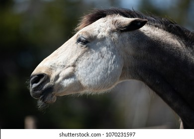 A rose grey colored horse's head. A side view of the horse and you can see lots of whiskers and chin hair. The horses' ears are back meaning he is angry. It has a brown and black mane.