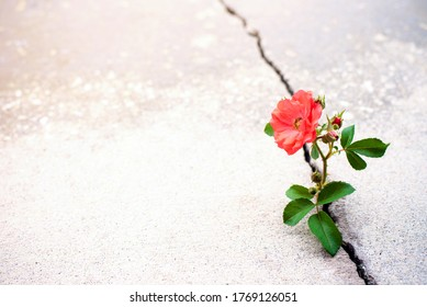 Rose growing from crack in the rode