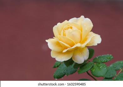 Rose with healthy leaves and flowers without pests. Roses are grown in a modern greenhouse without the use of herbicides
