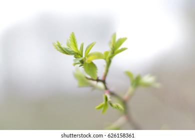 Rose hip branch during spring.