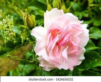 Rose hip flower close up. Rose hip pink flower view. Pink rose hip flower. Rose hip flower