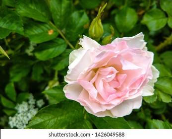 Rose hip flower close up. White pink rose hip flower. Rose hip flower macro view. Rose hip flower