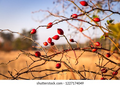 Rose hip in nature, uncultivated dog rose at autumn