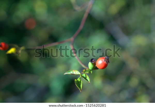 Rose hip on branch in the autumn sun