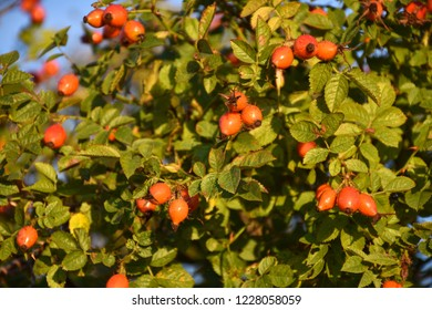 Rose hip shrub with beautiful growing matured berries