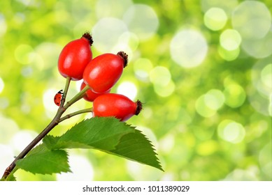 Rose hips (Rosa canina) close up on green natural background.