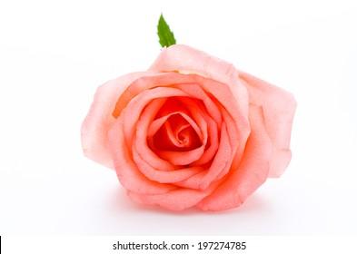 Rose isolated on white