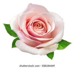 rose isolated on the white background