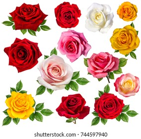 rose isolated on white background