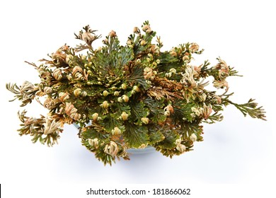 Rose of Jericho (Selaginella lepidophylla), False Rose of Jericho, other common names include Jericho rose, resurrection moss, dinosaur plant, siempre viva, stone flower, Resurrection plant,