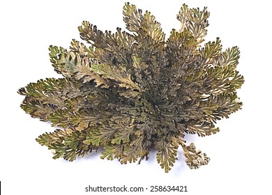 Rose of Jericho (Selaginella lepidophylla), other common names include Jericho rose, resurrection moss, dinosaur plant, stone flower, Resurrection plant, Mary's flower, Palestinian tumbleweed.