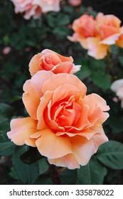Rose, Just Joey (hybrid tea rose)