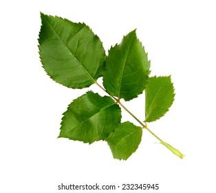 rose leaf