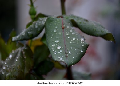 rose leaf and water drop