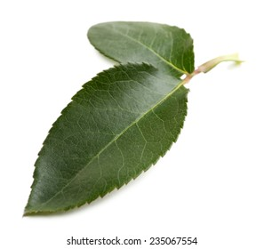 Rose leafs isolated on white